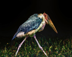The Marabou Stork is a large wading bird in the stork family Ciconiidae. It breeds in Africa south of the Sahara, in both wet and arid habitats, often near human habitation, especially waste tips