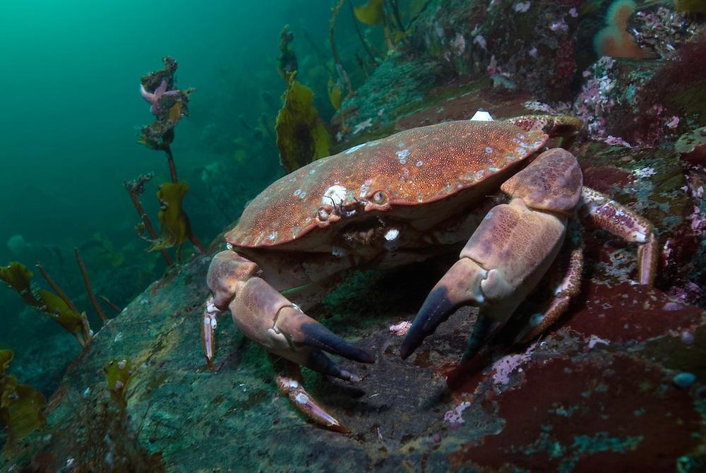 Edible crab, Cancer Pagurus.Atlantic marine life, Saltstraumen, Bodö, Norway