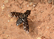 Mottled bee-fly (Thyridanthrax fenestratus) resting on a dry sandy coastal path in the Algarve Portugal in summer. This active fast-flying insect frequents dry sandy habitats in Europe but is rare in Britain