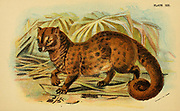 Asian palm civet (Paradoxurus hermaphroditus), also called common palm civet, toddy cat and musang, is a viverrid native to South and Southeast Asia. From the book ' A handbook to the carnivora : part 1 : cats, civets, and mongooses ' by Richard Lydekker, 1849-1915 Published in 1896 in London by E. Lloyd