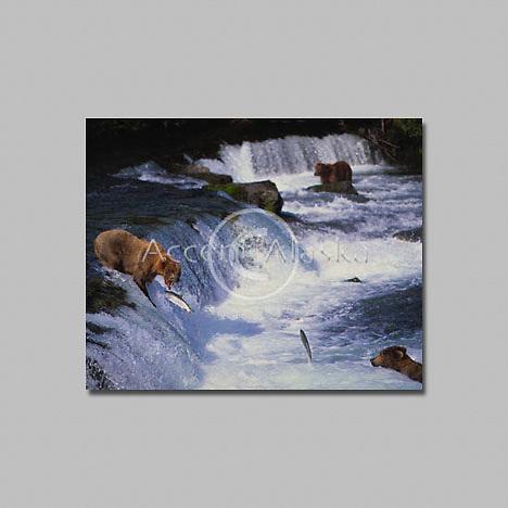 Alaska. Katmai NP . Brooks Falls. Alaskan Brown Bear feeds on jumping salmon.