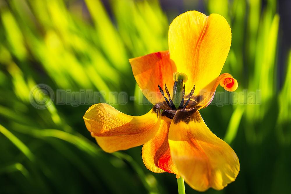 Tulip with broken blades and a bit of sunstrays | Tulipan med knekte blad og et snev av solstråler