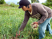 Josephine Alad-Ad (47), a member of 'Women's Rural Improvement Group' harvests onions from her farm in Sitio Matinao, Mindanao Island, The Philippines. In the Philippines climate change is contributing to an increase in the frequency and intensity of typhoons as well as a general rise in temperatures and rain leading to an increase in droughts, flash floods and landslides. This is having a huge impact on smallholder farmers who depend on one cash crop leaving them vulnerable to any changes in weather patterns. If their crops fail they are left with no other source of income for that year. In central Mindanao Oxfam is working with local partners and governments to increase awareness of climate change in poor communities and reduce the risks it creates to vulnerable farmers by supporting them in crop diversification.