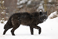 Wild wolf in the Canadian Rockies