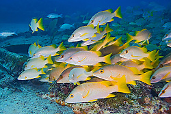 Schoolmaster Snappers, Lutjanus apodus. Sugar Wreck, the remains of an old sailing ship that was grounded many years ago, West End, Grand Bahamas, Atlantic Ocean