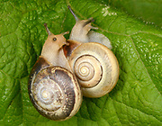 Kentish Snails (Monacha cantiana) a pair of air breathing land snails mating on a leaf in a woodland habitat in Norfolk.