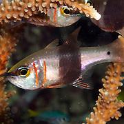 Girdled Cardinalfish shelter in branching corals. Picture taken Raja Ampat, Indonesia.