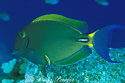 eyestripe surgeonfish or palani, Acanthurus <br /> dussumieri, being cleaned by endemic Hawaiian cleaner wrasse, Labroides phthirophagus,<br /> Kona, Hawaii, USA ( Pacific )