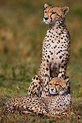 A cheetah female sitting up looking with her cub (Acinonyx jubatus) laying down at her feet,  Ndutu, Ngorongoro Conservation Area, Tanzania, Africa