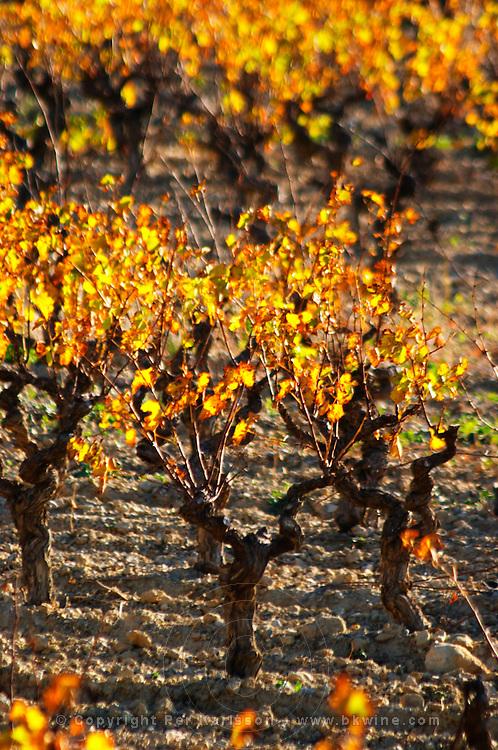 La Clape. Languedoc. Vines trained in Gobelet pruning. Vine leaves. Old, gnarled and twisting vine. Vineyard. France. Europe.