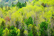 Mixedwood forest in spring foliage<br /> Rosseau<br /> Ontario<br /> Canada