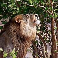 Africa, Botswana, Savute. Lion looking up in tree at Savute, Chobe National Park.