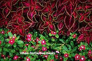 65021-02216  Coleus (Solenostemon scutellarioides) & Madascar Periwinkle (Catharanthus roseus 'Cooler Rasberry Red'),  MO
