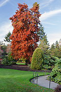 A Bald Cypress (Taxodium distichum) turning colour for the fall in Queen Elizabeth Park. This Bald Cypress specimen (there are four in QE Park) is one of the few deciduous conifer species in these gardens. The Bald Cypress is not native to British Columbia and usually grows in swampland in the southeastern United States.  Photographed from one of the many paths in the Quarry Gardens at QE Park in Vancouver, British Columbia, Canada.
