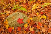 MAple leave sand rock in autumn, Algonquin Provincial Park, Ontario, Canada