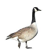 Canada Goose - Branta canadensis. L 95-105cm. Large, familiar goose with long neck and upright stance. All birds have blackish bill and dark legs. In flight, wings appear uniformly grey-brown while stern is white. Sexes are similar. Adult has white cheeks on otherwise black head and neck. Body is mainly grey-brown, darkest on back (pale feather margins creating barring) and palest on breast. Stern is white and tail is dark. Juvenile is similar but barring on back is less distinct. Voice Utters loud, disyllabic trumpeting calls in flight. Status Introduced but now our most widespread goose; commonest in lowland England, usually in vicinity of freshwater, often on nearby grassland.