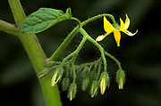 Tomato Plant, growth sequence, close up of flowering buds and open yellow flowers