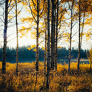 A grove of aspens at Oxbow Bend in peak fall foliage in Grand Teton National Park.