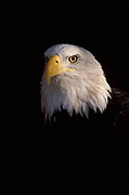 Bald Eagle Haliaeetus leucocephalus, portrait of white head showing eyes and strong beak, dark background, usually found near water, feeds mainly on fish, Boulder,  Colorado, symbol of america.