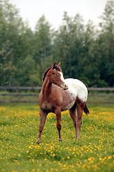 Appalooza<br />Appaloosa Horse Club Belgium - Herk de Stad 2003<br />Photo © Dirk Caremans