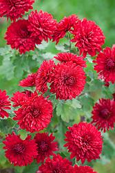 Chrysanthemum 'Ruby Mound' AGM