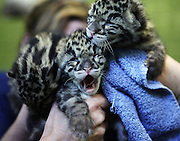 Seen from behind protective glass, rare, three-week-old, clouded leopard cubs have just been awakened for a feeding at Point Defiance Zoo & Aquarium, in Tacoma. (Ken Lambert / The Seattle Times)