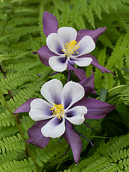 United States, Washington, Underwood, Columbine flower and fern
