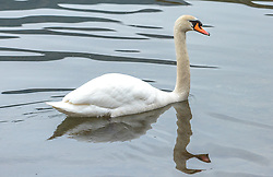 THEMENBILD - ein Höckerschwan schwimmt im Wasser, aufgenommen am 10. März 2018, Zell am See, Österreich // a mute swan is swimming in the water on 2018/03/10, Zell am See, Austria. EXPA Pictures © 2018, PhotoCredit: EXPA/ Stefanie Oberhauser