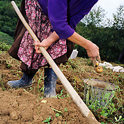 A Romanian peasant farmer wearing a flowery apron throws organically grown potoatoes into a metal bucket whilst harvesting, Botiza, Maramures, Romania.