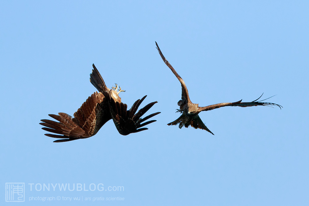 Two black-eared kites (Milus migrans lineatus) engaged in mid-air combat. One bird swooped talons outstreched toward the other, which spun around in response. The two never made contact however, with the encounter finished in the blink of an eye. Photographed in Kochi prefecture, Japan. トビ