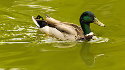 The Mallard or Wild Duck is a dabbling duck which breeds throughout the temperate and subtropical Americas, Europe, Asia, and North Africa, and has been introduced to New Zealand and Australia.