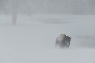 A bison emerges from a whiteout during a snowstorm in Yellowstone and just as quickly fades back out of view.