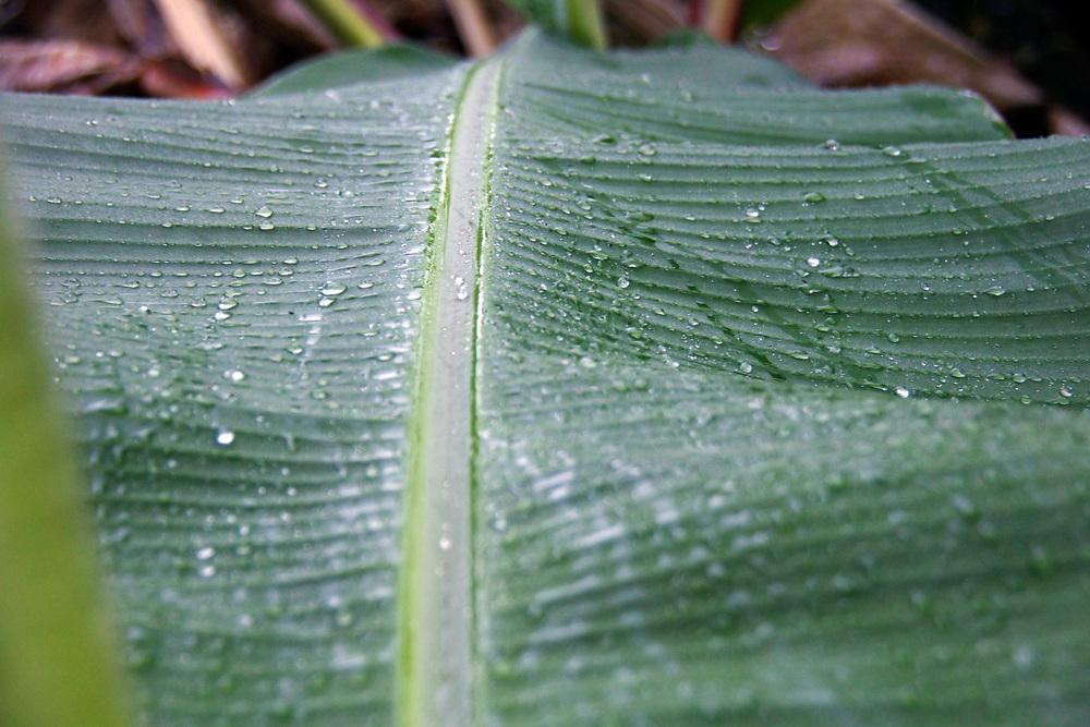 Rain droplets bead down a banana leaf in Hawaii. Photo by Adel B. Korkor.
