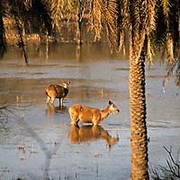 Asia, India, Ranthambore. Sambar Deer in water at Ranthambore.
