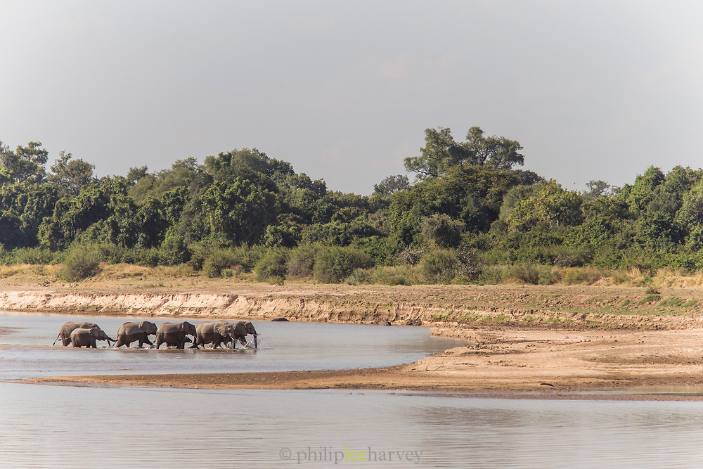 African elephants crossing river in South Luangwa National Park, Zambia