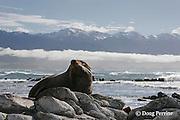 New Zealand fur seal or fur sea lion, Arctocephalus forsteri, resting, Kaikoura, South Island, New Zealand
