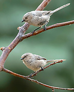 Two bushtit on a branch