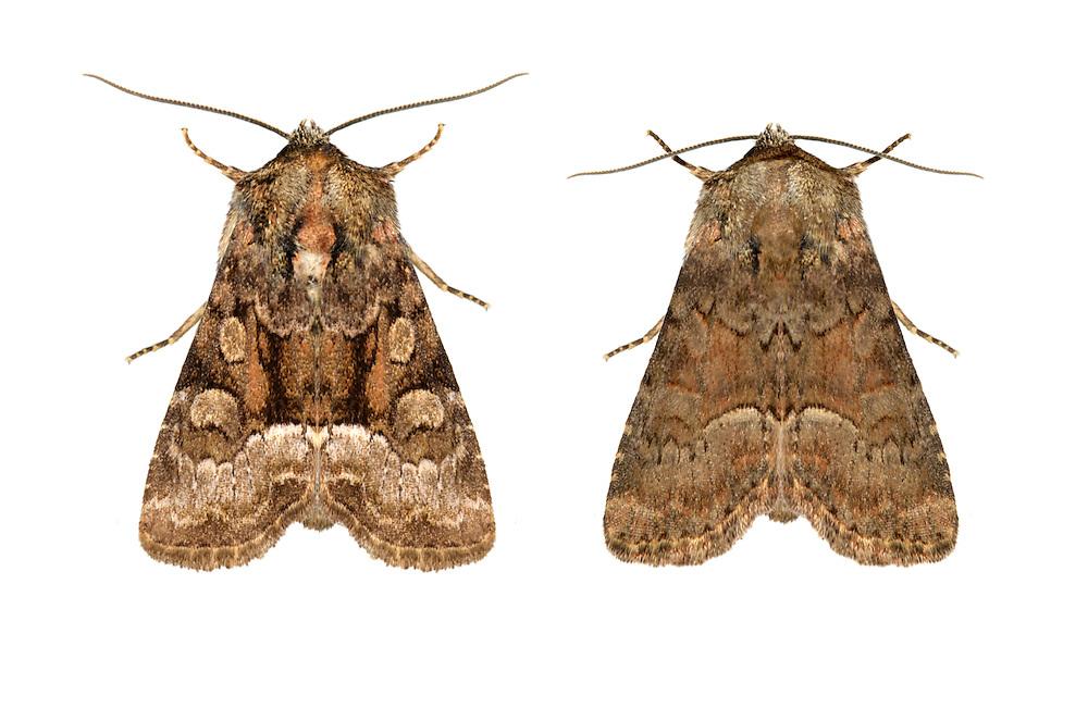 73.175 (2338)<br /> Rufous Minor - Oligia versicolor