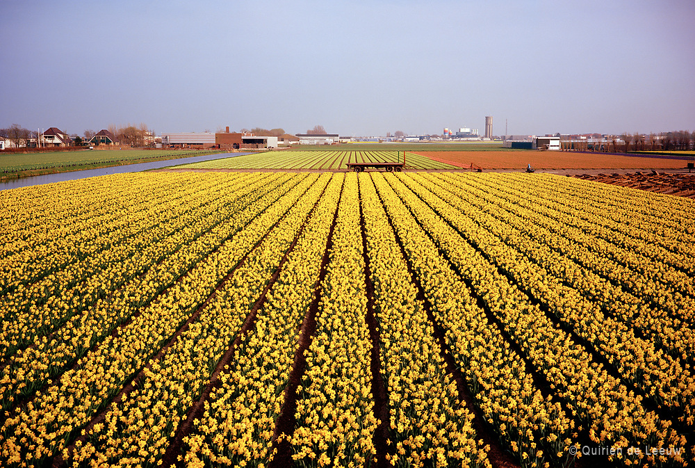 Narcissus flowerfield located in the Bulbregion, North of Holland province. © Holland Ektar series