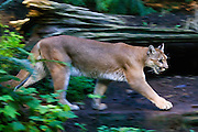 A captive cougar walks through a dense forest in Washington state.