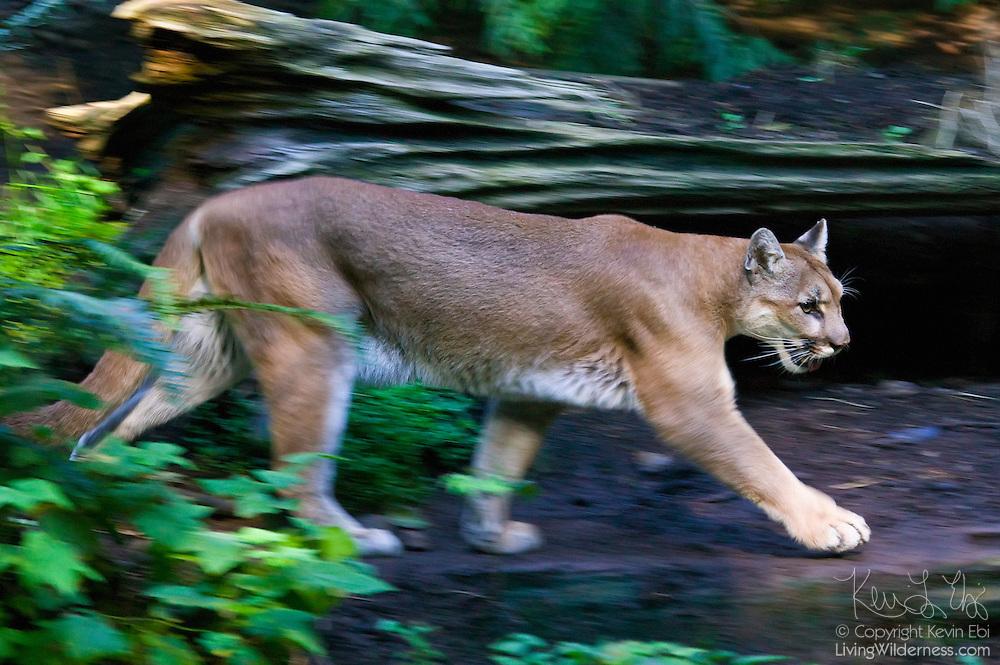 A captive cougar walks through a dense forest in Washington state.