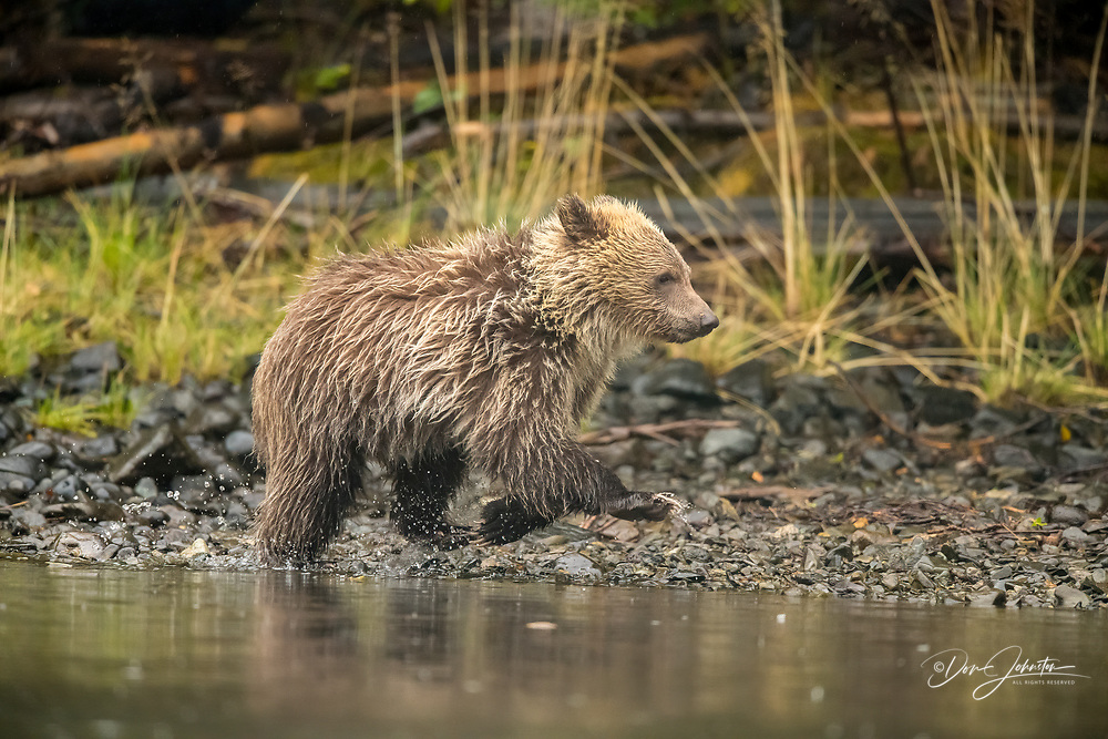 Grizzly bear (Ursus arctos)- First-year cub following mother as she hunts for spawning salmon along shore of the Chilko River, Chilcotin Wilderness, BC Interior, Canada