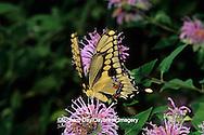 03017-00603 Giant Swallowtail butterfly (Papilio cresphontes) on Wild Bergamot (Monarda fistulosa),  Marion Co. IL