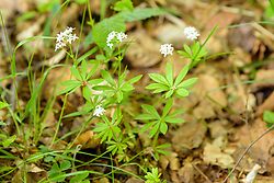 Lievevrouwebedstro, Galium odoratum