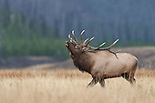 Elk or Wapiti 2