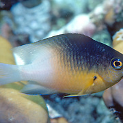 Bicolor Damsilfish inhabit patch reefs and areas of sand and coral rubble, in Tropical West Atlantic; picture taken Culebra, Puerto Rico.