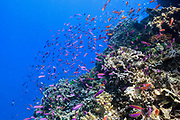 Fish on tropical coral reef - Agincourt reef, Great Barrier Reef, Queensland, Australia. <br />