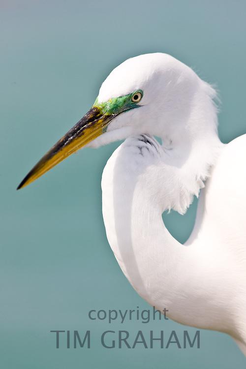 Great Egret, Ardea alba, also known as the Great White Egret or Common Egret on Anna Maria, Island, Florida, USA