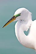Great Egret, Ardea alba, also known as the Great White Egret or Common Egret on Anna Maria, Island, Florida, USA