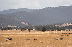 26 January 2019, Ethiopia: Goats walk across a field near Dodola town, Ethiopia.